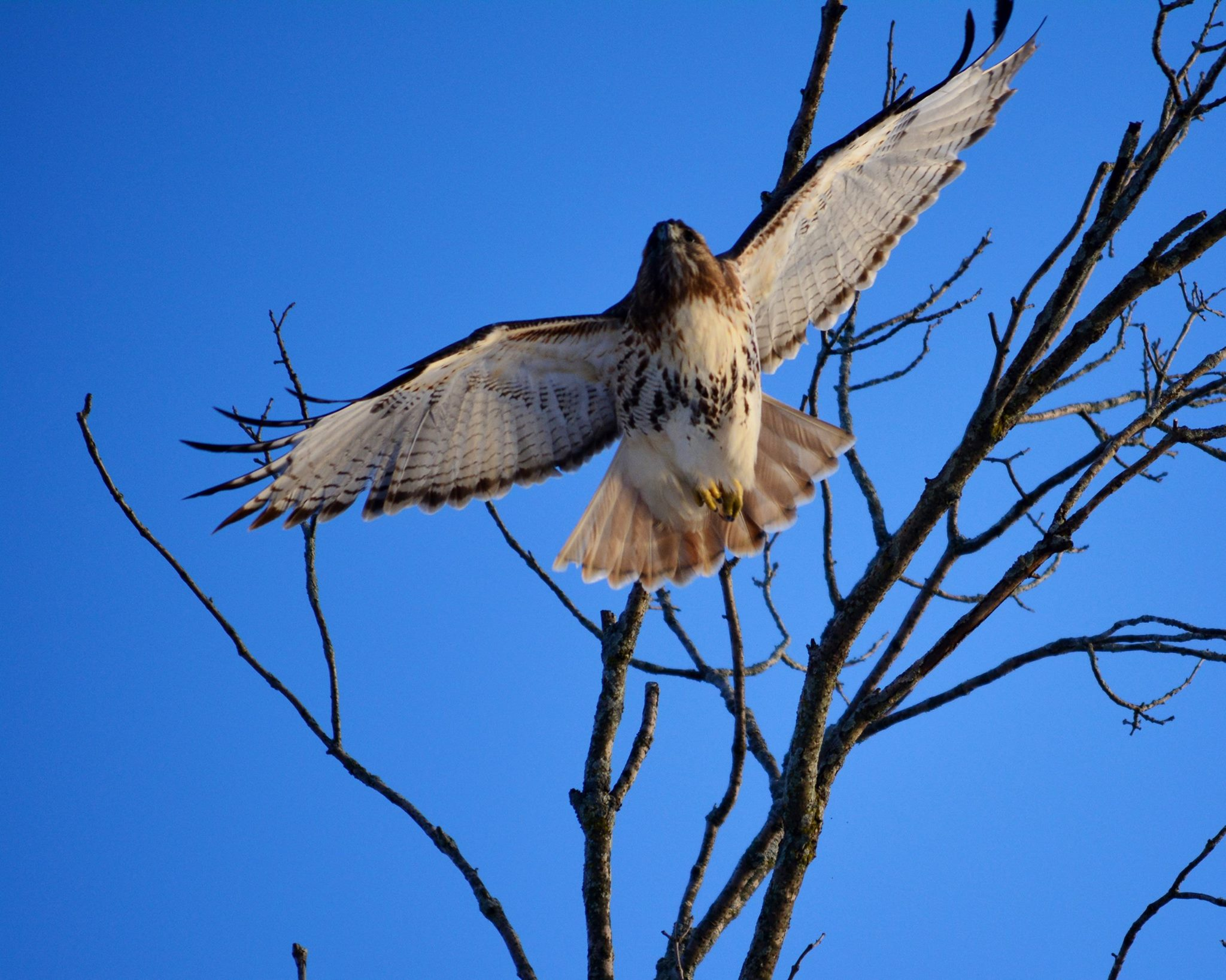 Red-Tailed Hawk - Dave Soderstrom